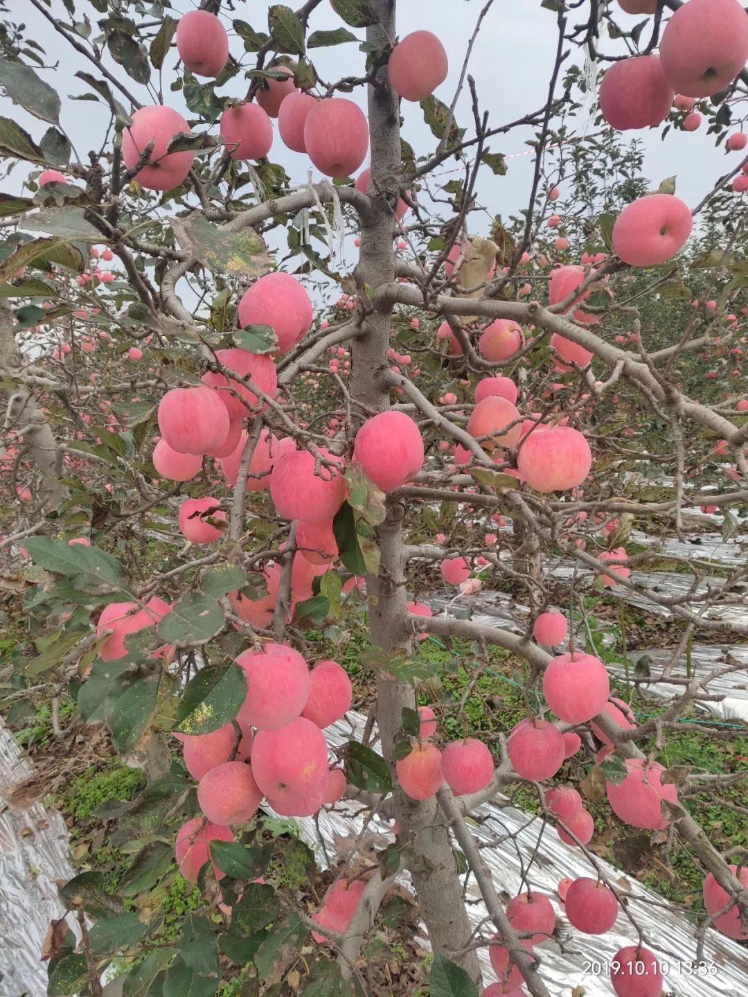 """愁啊!万斤""""红富士苹果""""无人收,4元/斤!果农:卖不掉今年就白干了…插图8"""