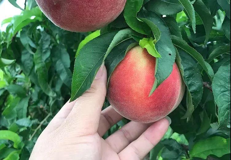 一口爆汁!陕西水蜜桃成熟了,真正的自然熟,桃园现摘现发!插图14