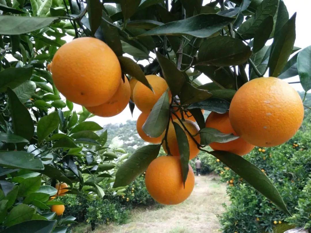 助力麻阳冰糖橙走出大山,留守老人一生良心种植,5斤仅19.9元,甜润爽口,生态健康!插图14