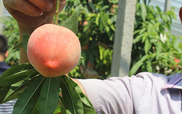 一口爆汁!陕西水蜜桃成熟了,真正的自然熟,桃园现摘现发!插图22