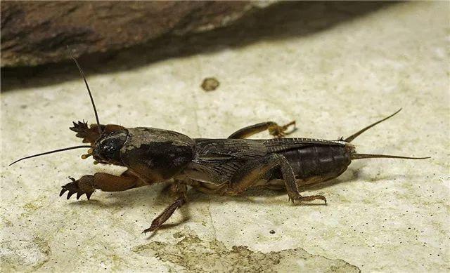 东莞随处可见的虫,网上竟卖到798蚊/斤!比禾虫还贵!插图2