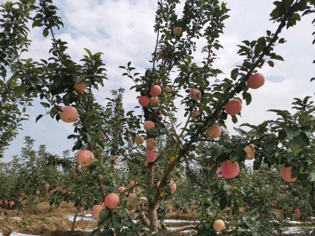 """愁啊!万斤""""红富士苹果""""无人收,4元/斤!果农:卖不掉今年就白干了…插图6"""