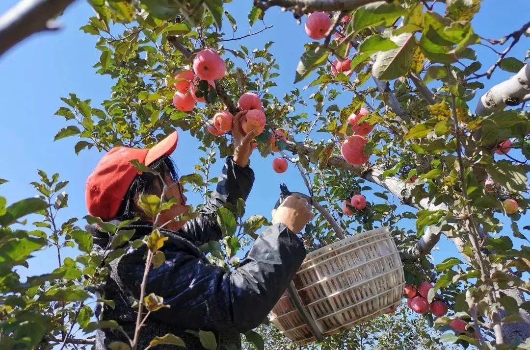 【39.9/10斤】正宗陕西洛川红富士苹果,70%冰糖心,脆甜多汁,顺丰包邮,一代老农对生态种植的坚守,吃出儿时的味道!