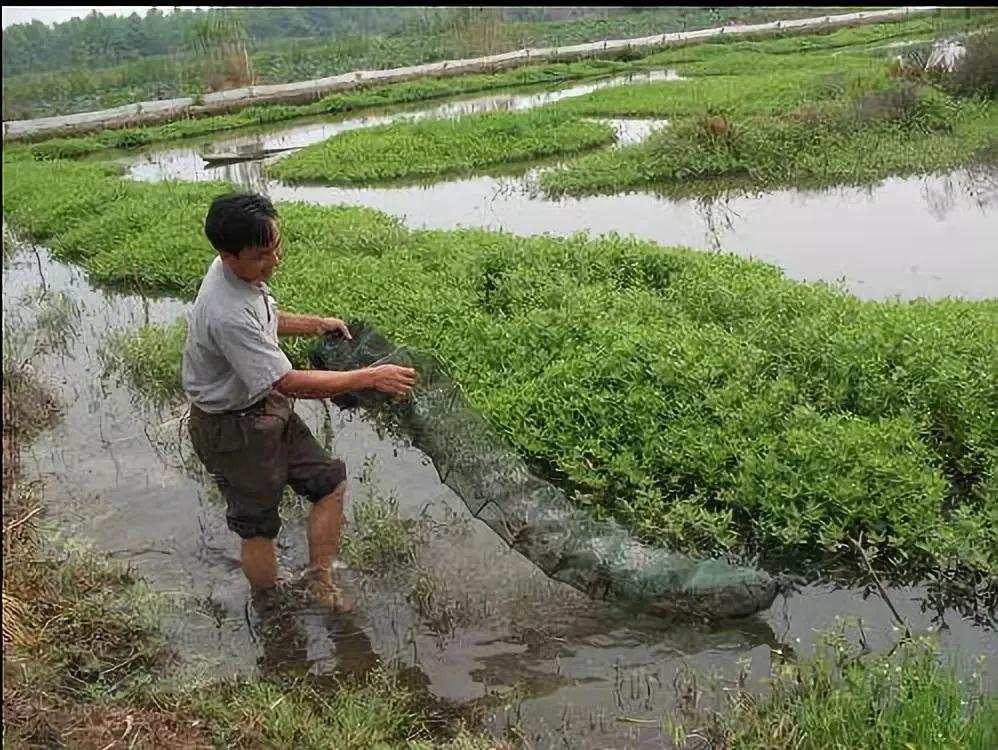 小龙虾的致命真相:全世界都不敢吃,中国人却还被蒙在鼓里!插图46