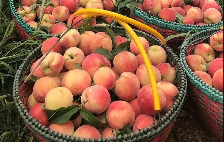 一口爆汁!陕西水蜜桃成熟了,真正的自然熟,桃园现摘现发!插图20