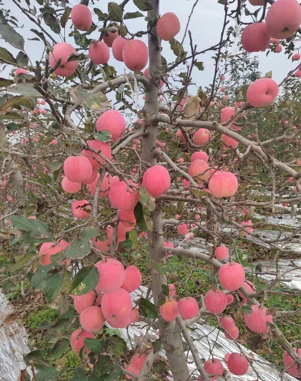 """元1斤的陕西红富士,老农求助!请带走""""我们""""的苹果!"""""""