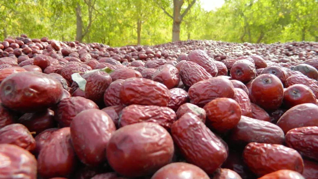 新疆红枣价低滞销,枣农无奈怒砍枣树烧柴!自然吊干,纯天然,甜度高!