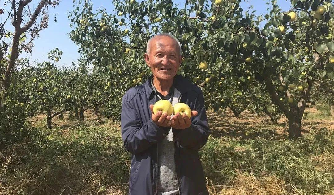 陕西乾县老人种植高山酥梨,清甜爽口、润肺去噪,咬一口就爆汁