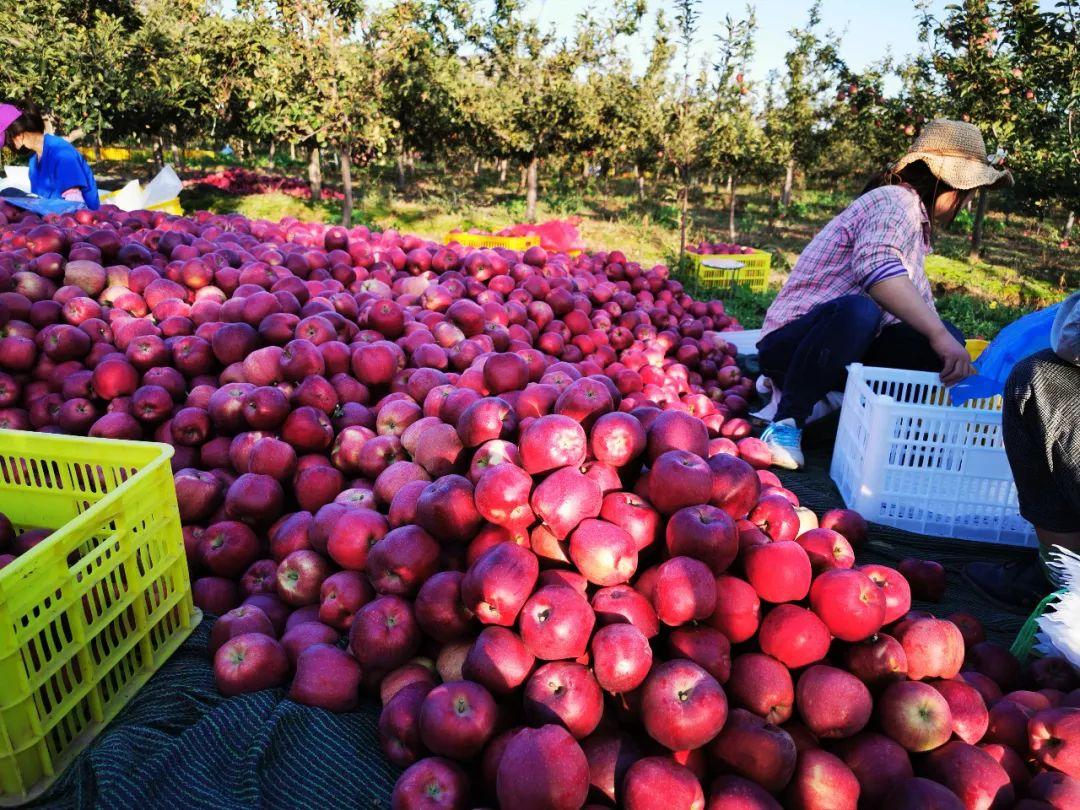 """""""国货之光""""29.9元10斤,比蛇果更好看、更好吃的甘肃花牛苹果新鲜上市,开启你的甜蜜之旅!插图2"""