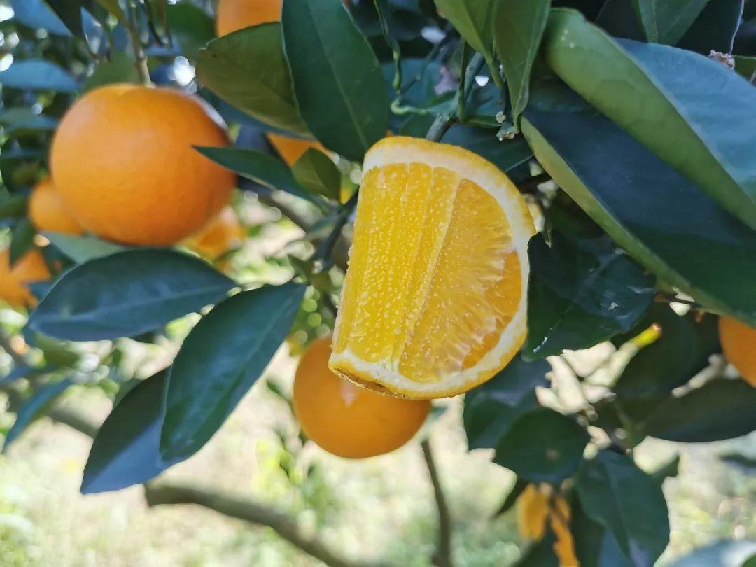 助力麻阳冰糖橙走出大山,留守老人一生良心种植,5斤仅19.9元,甜润爽口,生态健康!插图20