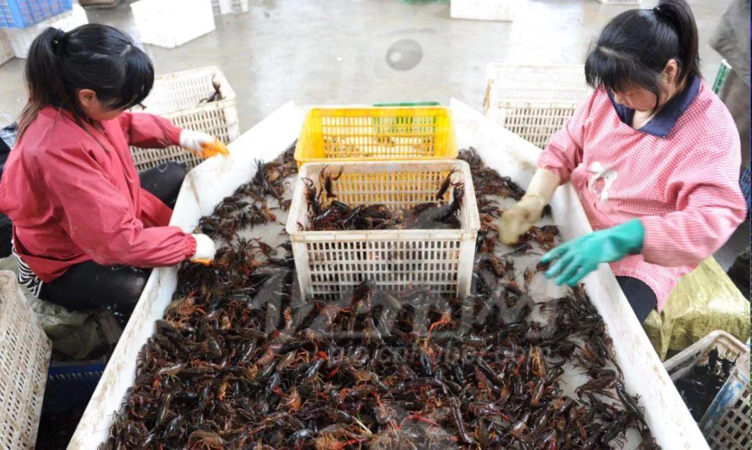 小龙虾的致命真相:全世界都不敢吃,中国人却还被蒙在鼓里!插图50