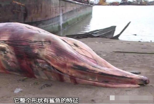 真的!东莞沙田惊现一条比人还大的鱼!插图6
