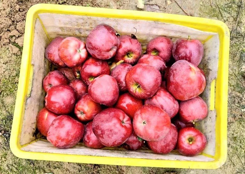 """""""国货之光""""29.9元10斤,比蛇果更好看、更好吃的甘肃花牛苹果新鲜上市,开启你的甜蜜之旅!插图28"""