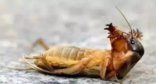 东莞随处可见的虫,网上竟卖到798蚊/斤!比禾虫还贵!插图6