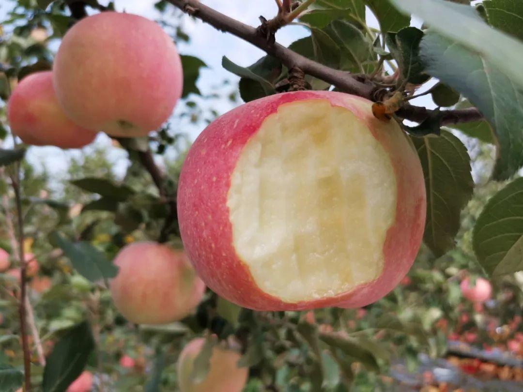 """愁啊!万斤""""红富士苹果""""无人收,4元/斤!果农:卖不掉今年就白干了…插图10"""