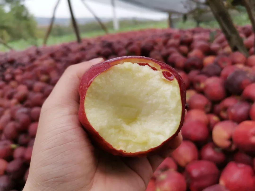 """""""国货之光""""29.9元10斤,比蛇果更好看、更好吃的甘肃花牛苹果新鲜上市,开启你的甜蜜之旅!插图8"""