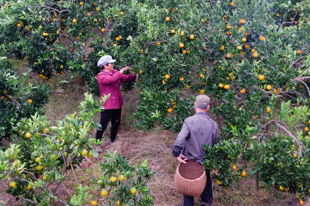 助力麻阳冰糖橙走出大山,留守老人一生良心种植,5斤仅19.9元,甜润爽口,生态健康!插图6